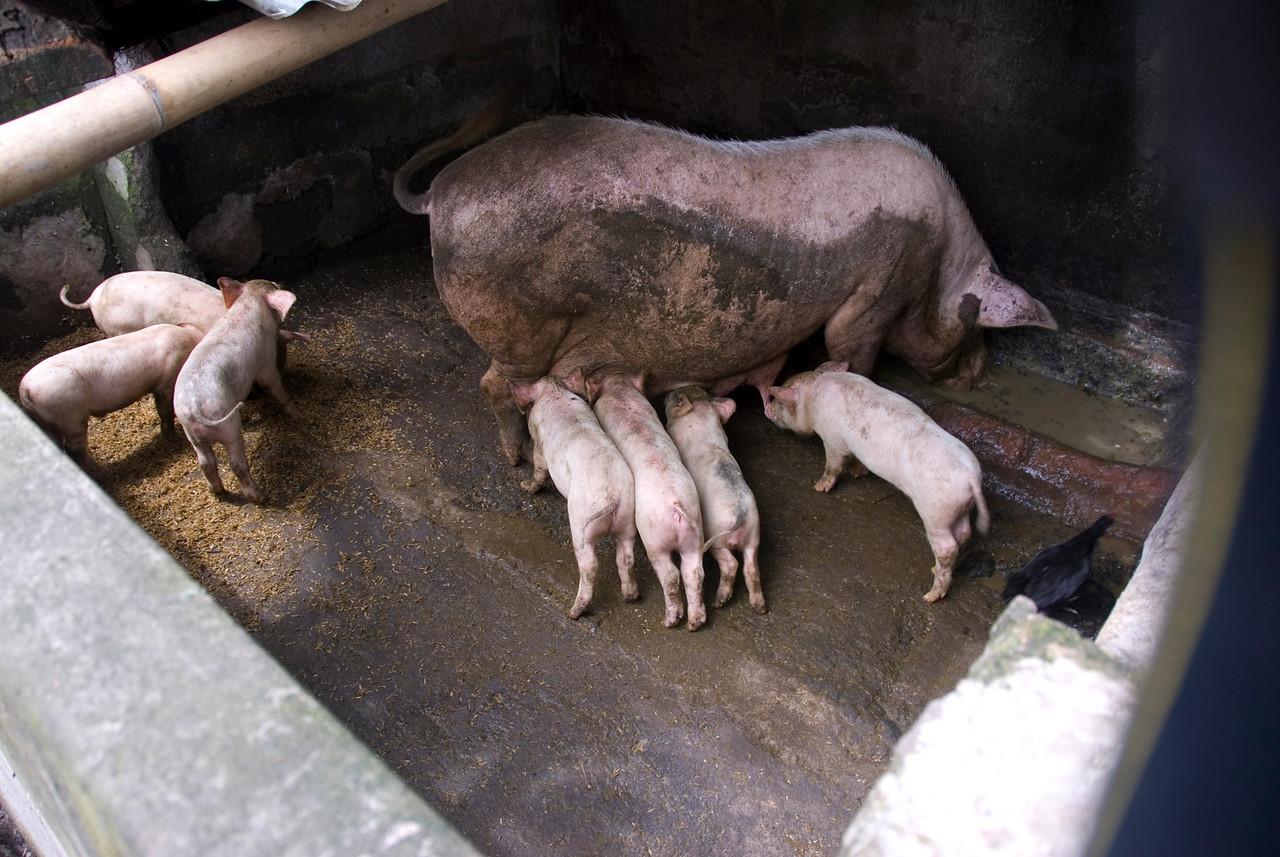 Suckling pigs in a pen in Bali, Indonesia