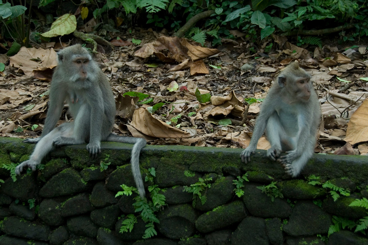 Two monkeys resting in Bali, Indonesia
