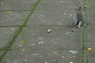 Funny capture of monkey in Bali, Indonesia