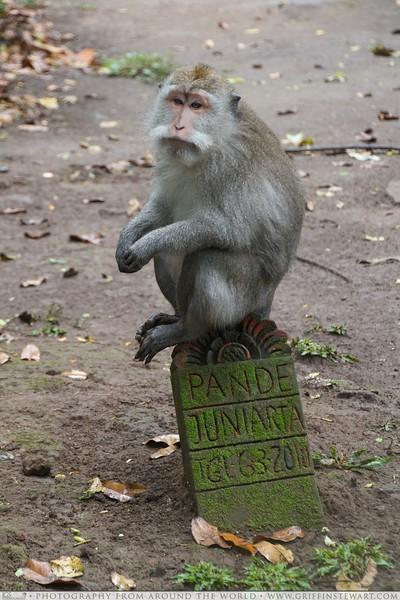 Monkey on Tombstone in Bali