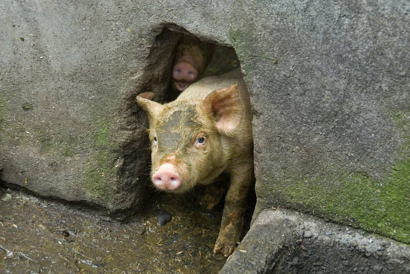 Piglets peeking out from a hole in the wall in Bali