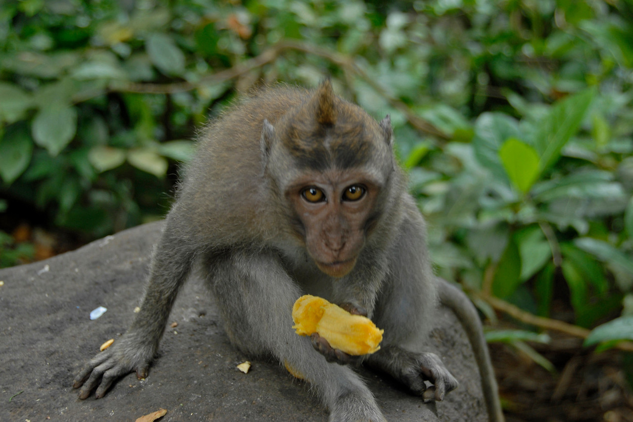 Monkey looking at camera while eating a banana