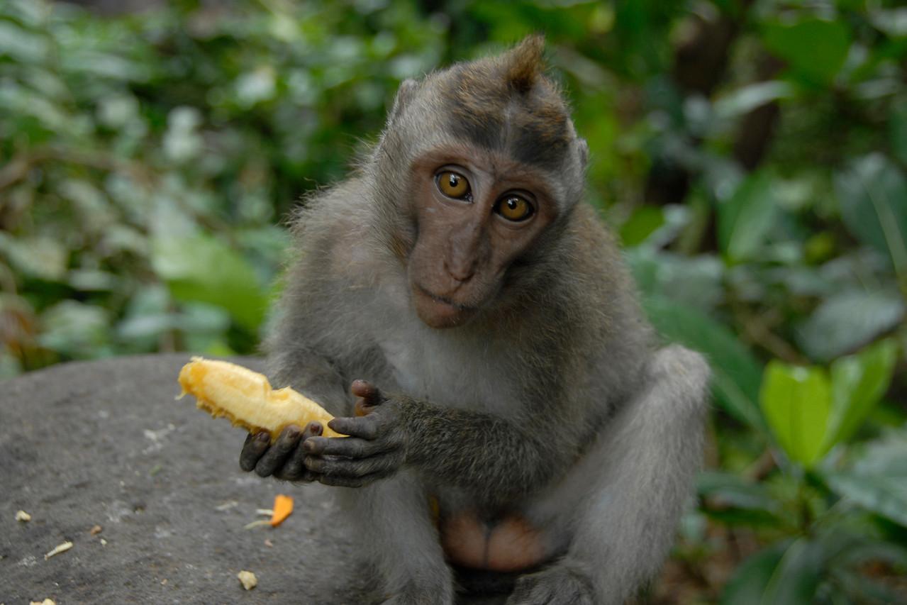 Monkey eating a banana and looking back at camera