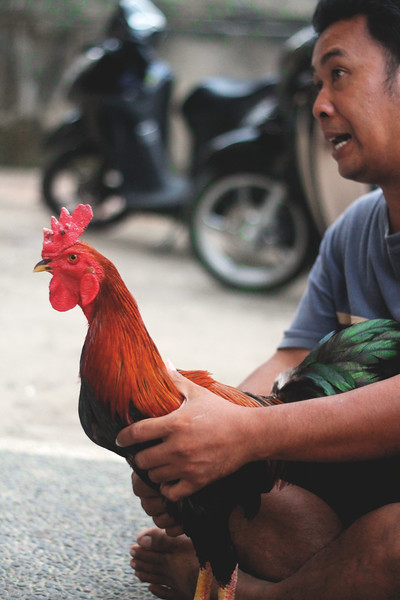 At dusk, a group of men gathered in a circle holding and petting their roosters. These birds are trained fighters. They told us that sitting in a circle like so is training, basically to size each other up. October 2015