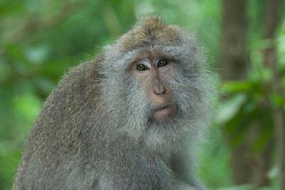 Close-up shot of monkey in Bali, Indonesia