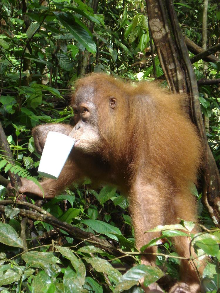 Orangutan Drinking Milk