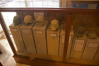 Hominid Skull Fossils on display behind glass shelves at Sangiran Museum in Java, Indonesia