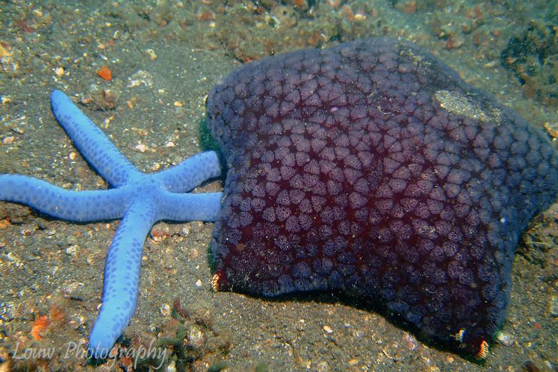 Blue Sea Star (Linckia laevigata) and Spiny Cushion Star (Culcita schmideliana), Lembeh Straits, Indonesia