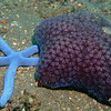 Blue Sea Star (Linckia laevigata) and Spiny Cushion Star (Culcita schmideliana), Lembeh Straits, Indonesia