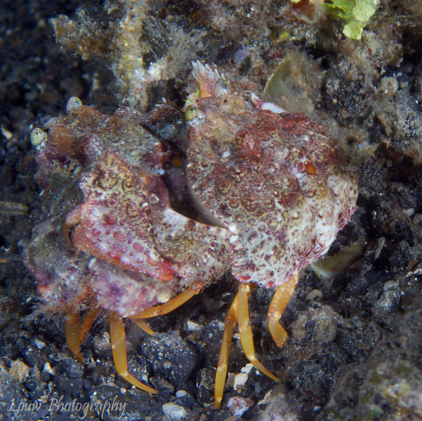 Crabs mating, Lembeh Straits, Indonesia