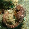 Seahorse (Hippocampus sp.), Lembeh Straits, Indonesia