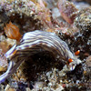 Nudibranch (Hypselodoris sp.), Lembeh Straits, Indonesia