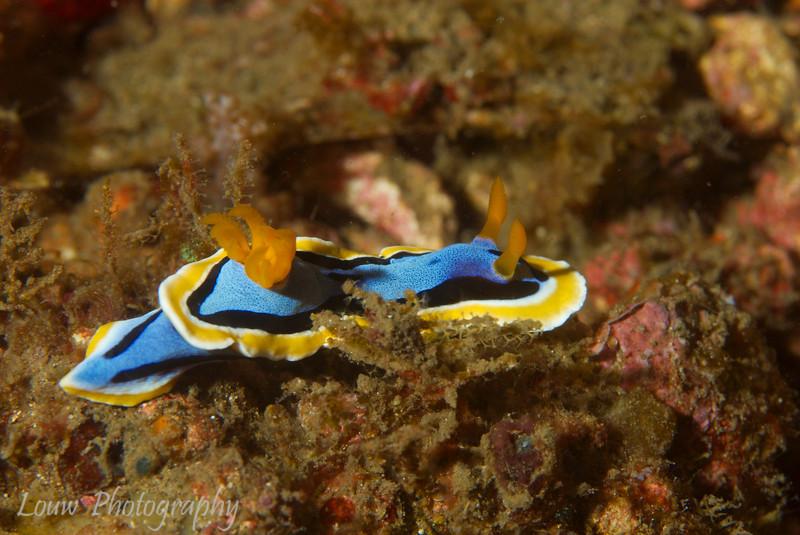 Nudibranch (Chromodoris annae), Lembeh Straits, Indonesia