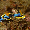 Nudibranch (Chromodoris annae), Lembeh Straits, Indonesia