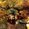Smashing Mantis Shrimp (Odontodactylus scyllarus), Lembeh Straits, Indonesia