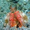 Spearing mantis shrimp (Lysiosquillina lisa), Lembeh Straits, Indonesia