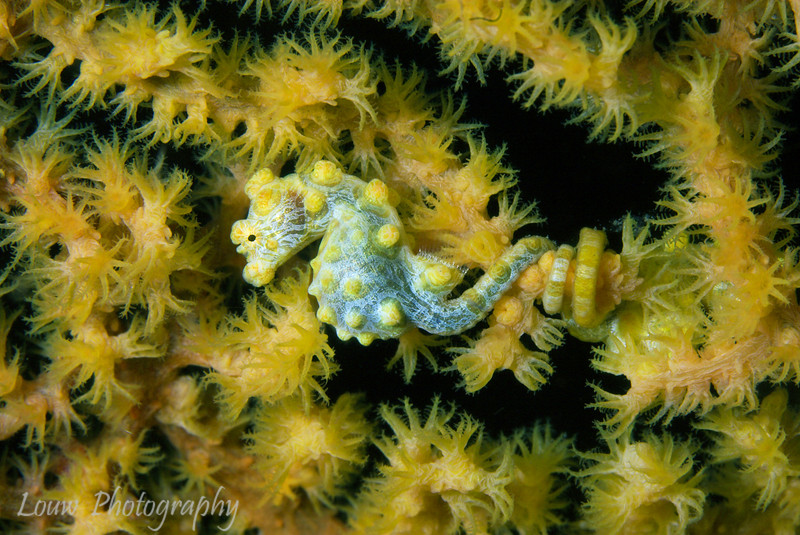 """<a target=""""NEWWIN"""" href=""""http://en.wikipedia.org/wiki/Pygmy_seahorse"""">Yellow Pygmy Seahorse (Hippocampus bargibanti)</a> on gorgonian coral, Lembeh Straits, Indonesia"""