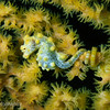 "<a target=""NEWWIN"" href=""http://en.wikipedia.org/wiki/Pygmy_seahorse"">Yellow Pygmy Seahorse (Hippocampus bargibanti)</a> on gorgonian coral, Lembeh Straits, Indonesia"