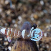 """<a target=""""NEWWIN"""" href=""""http://en.wikipedia.org/wiki/Periclimenes_magnificus"""">Magnificent Cleaner Shrimp (Periclimenes magnificus)</a>, Lembeh Straits, Indonesia"""