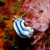 Nudibranch (Chromodoris lochi), Lembeh Straits, Indonesia