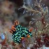Nudibranch (Nembrotha kubaryana), Lembeh Straits, Indonesia