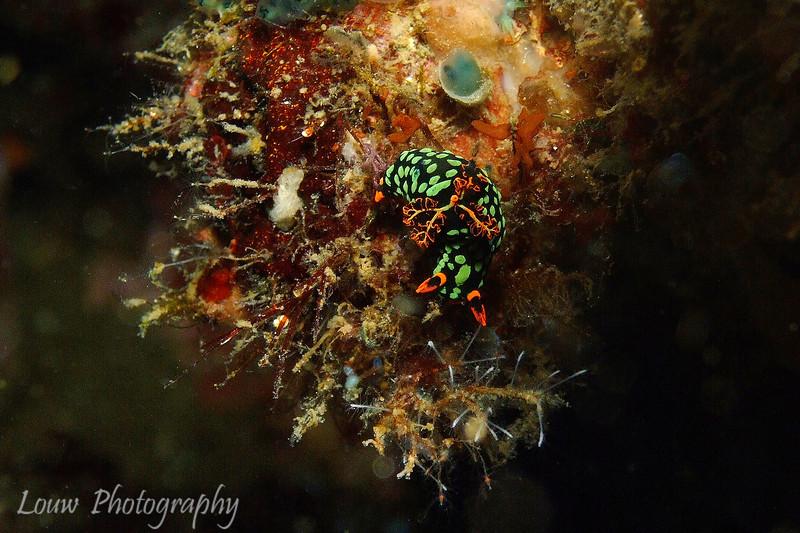 Dusky Nembrotha (Nembrotha kurabyana), Lembeh Straits, Indonesia