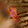 Nudibranch (Flabellina exoptata), Lembeh Straits, Indonesia