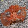 """<a target=""""NEWWIN"""" href=""""http://en.wikipedia.org/wiki/Ambon_scorpionfish"""">Ambon scorpionfish (Pteroidichthys amboinensis)</a>, Lembeh Straits, Indonesia"""