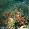 Hairy Frogfish (Antennarius striatus), Lembeh Straits, Indonesia
