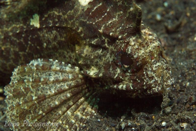 Longspine Waspfish (Paracentropogon longispinus), Lembeh Straits, Indonesia