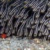 Striped Catfish (Plotosus lineatus), Lembeh Straits, Indonesia