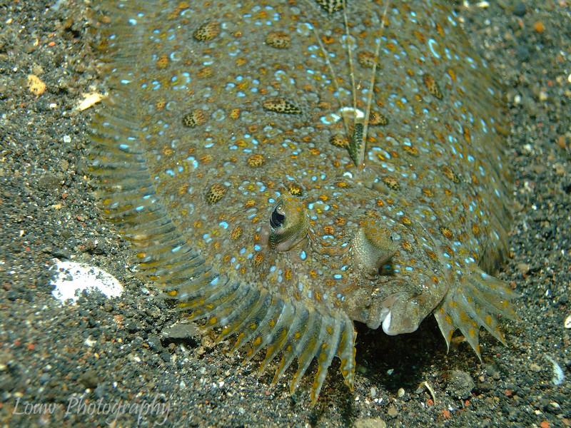 Peacock flounder (Bothus mancus), Lembeh Straits, Indonesia