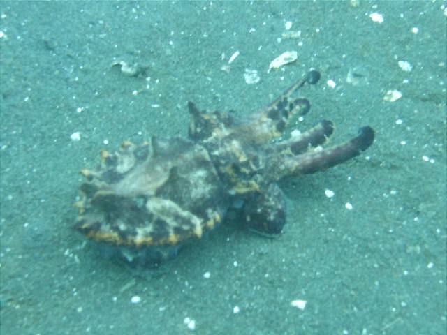 Flamboyant Cuttlefish (Metasepia pfefferi), Lembeh Straits, Indonesia