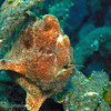 Giant Frogfish (Antennarius commersonii) with razor fish in his mouth