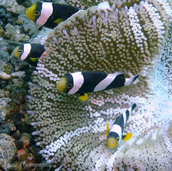 Saddleback anemonefish (Amphiprion polymnus), Lembeh Straits, Indonesia