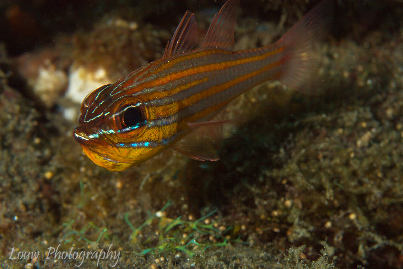 Yellowstriped Cardinalfish (<i>Apogon cyanosoma</i>) carrying eggs in its mouth
