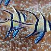 Banggai Cardinalfish (Pterapogon kauderni), Lembeh Straits, Indonesia