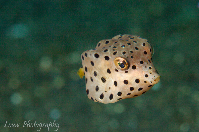 Juvenile Yellow Boxfish (Ostracion cubicus), Lembeh Straits, Indonesia