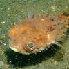 Orbicular burrfish (Cyclichthys orbicularis), Lembeh Straits, Indonesia