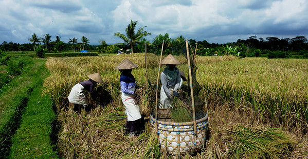 rice threshing