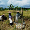 rice threshing