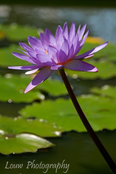 Lotus Flower, Yogyakarta, Indonesia