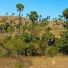 Landscape - Borassus Palm (Borassus flabellifer)<br /> <br /> Flores,Rinca, Indonesia
