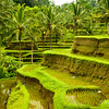 Rice terraces in Tegalalang, Bali
