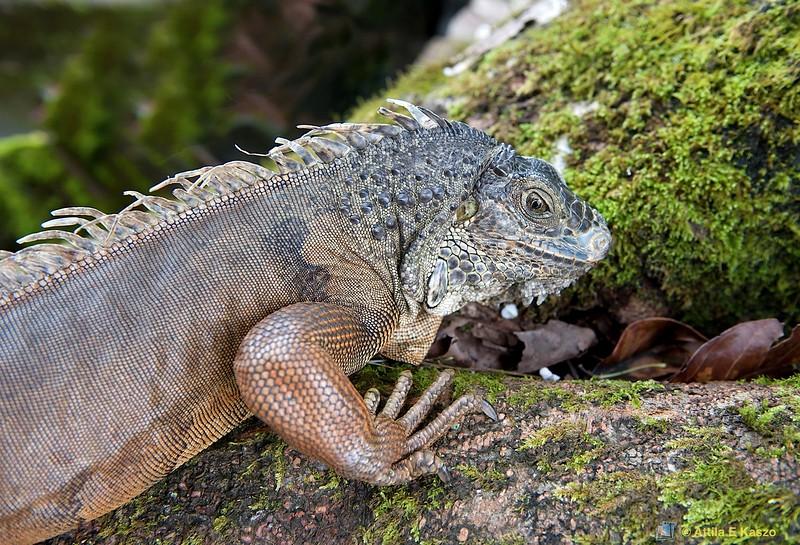 Iguana - NW Bali, Indonesia