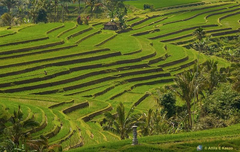 Rice Terraces - WHL<br /> <br /> Dati Luwih, Bali, Indonesia