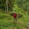 Terrace Rice Fields - Farmer<br /> <br /> Ubud, Bali, Indonesia