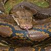 Carpet Python (Morelia sp.) 40Kg<br /> <br /> Tanah-Lot, Bali, Indonesia