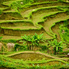 Rice terraces in Tegalalang, Bali