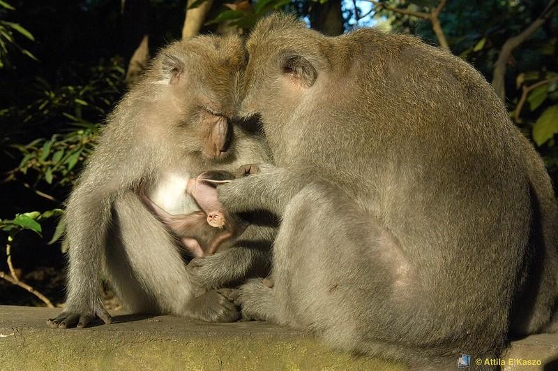 Balinese Macaques (Macaca fascicularis)<br /> Ubud, Bali, Indonesia